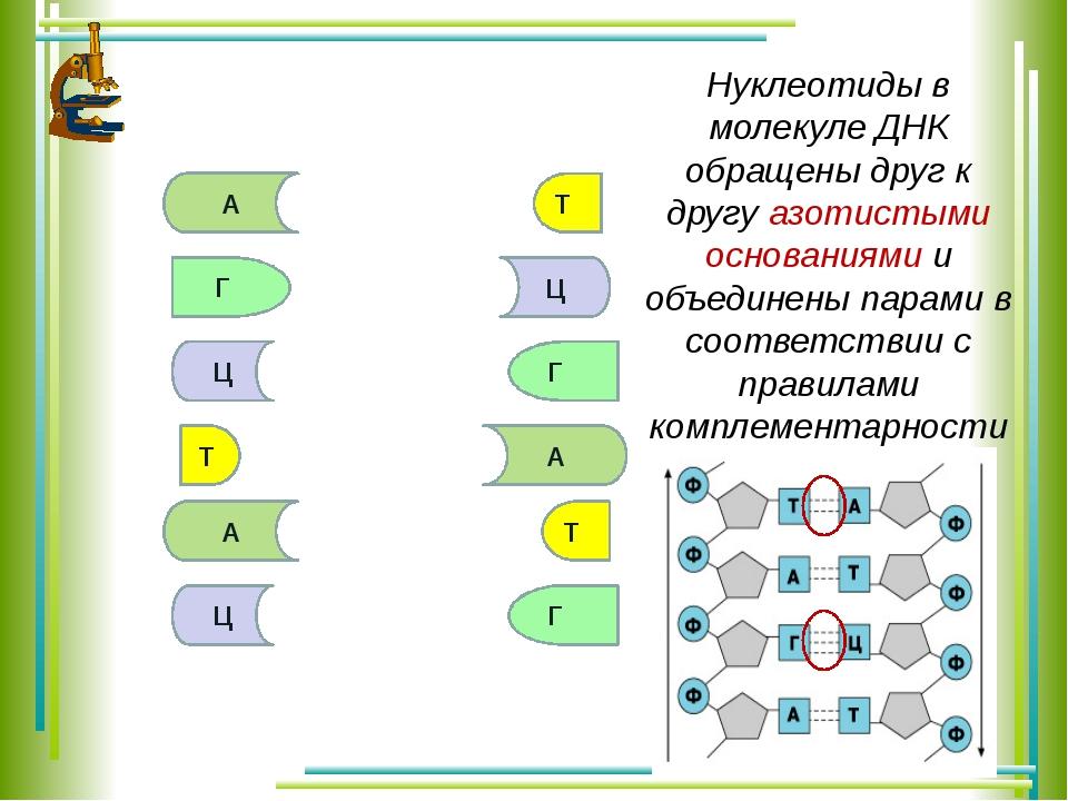 А Т Г Ц Г Т А Ц А Т Ц Г Нуклеотиды в молекуле ДНК обращены друг к другу азоти...