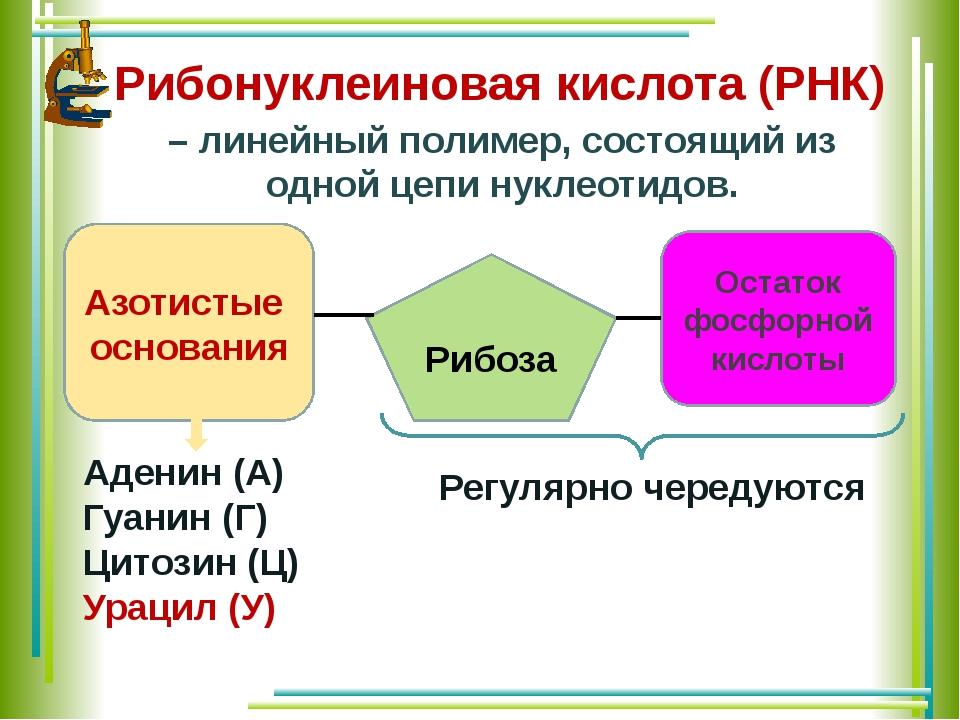 Рибонуклеиновая кислота (РНК) Азотистые основания Остаток фосфорной кислоты Р...
