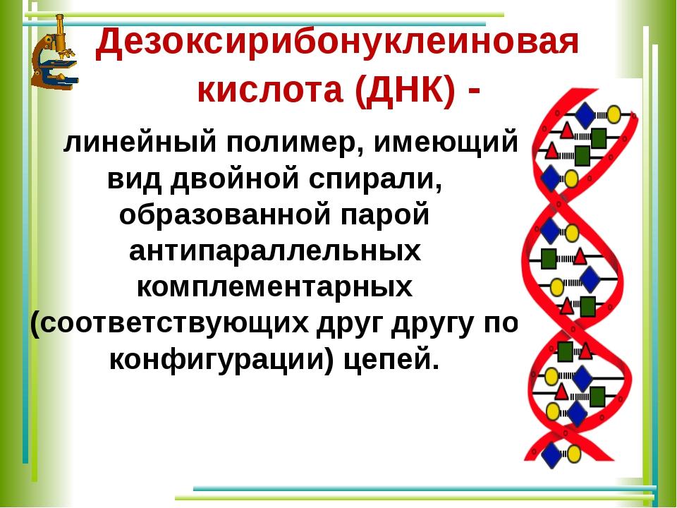 Дезоксирибонуклеиновая кислота (ДНК)- линейный полимер, имеющий вид двойной...