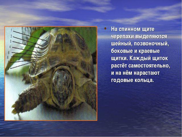 На спинном щите черепахи выделяются шейный, позвоночный, боковые и краевые щи...