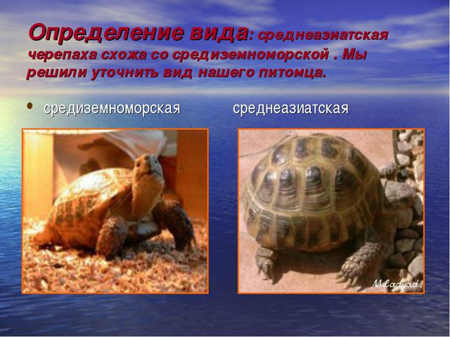Определение вида: среднеазиатская черепаха схожа со средиземноморской . Мы ре...