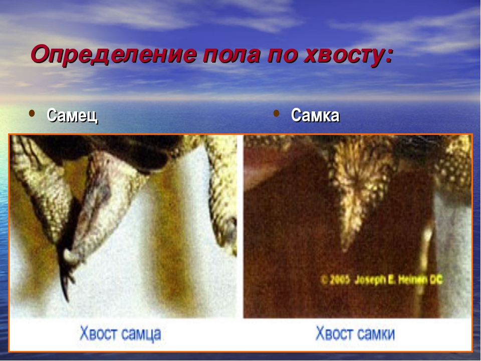 Определение пола по хвосту: Самец Самка