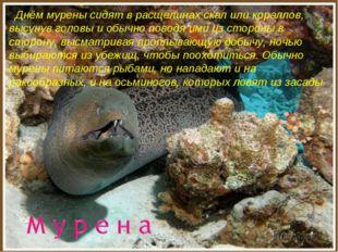 Днём мурены сидят в расщелинах скал или кораллов, высунув головы и обычно по