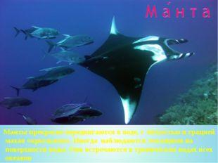 Манты прекрасно передвигаются в воде, с лёгкостью и грацией махая «крыльями».