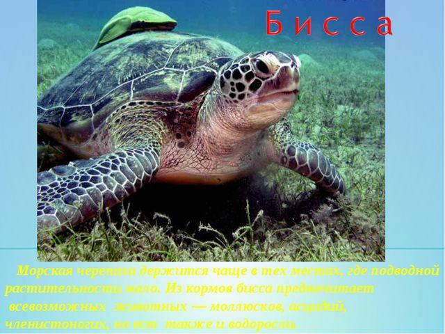 Морская черепаха держится чаще в тех местах, где подводной растительности ма...