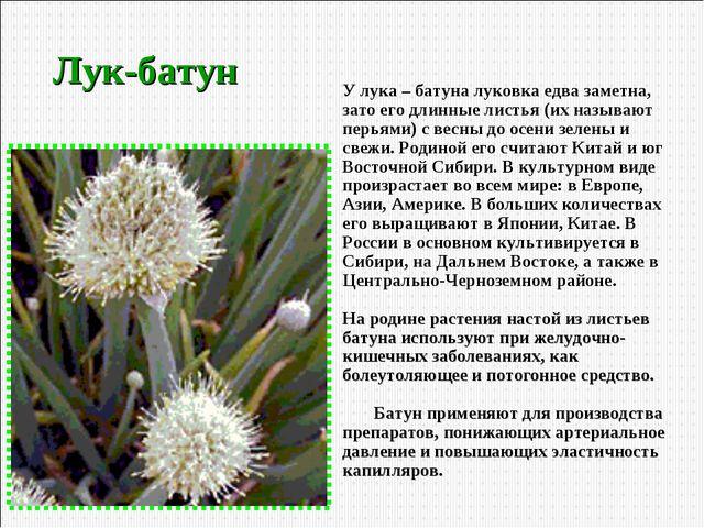 Лук-батун У лука – батуна луковка едва заметна, зато его длинные листья (их н...