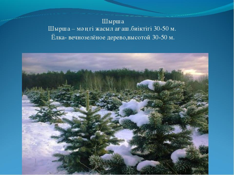 Шырша Шырша – мәңгі жасыл ағаш.биіктігі 30-50 м. Ёлка- вечнозелёное дерево,вы...