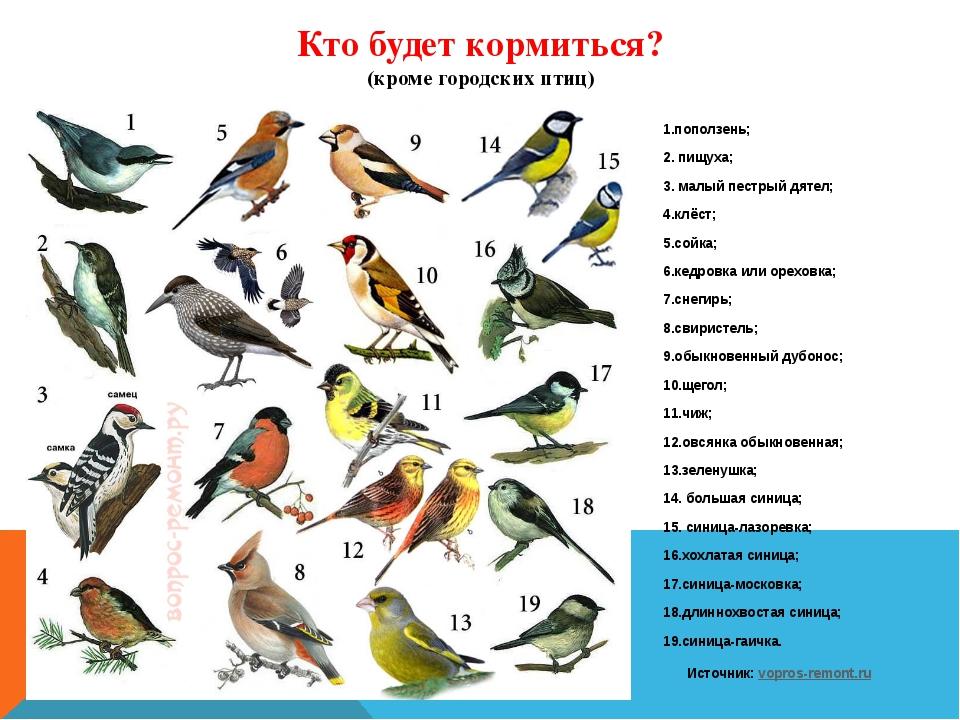 Кто будет кормиться? (кроме городских птиц) 1.поползень; 2. пищуха; 3. малый...