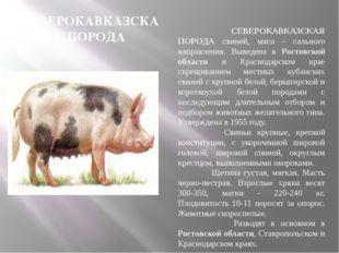 СЕВЕРОКАВКАЗСКАЯ ПОРОДА СЕВЕРОКАВКАЗСКАЯ ПОРОДА свиней, мясо - сального напра