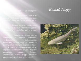 Белый Амур Белый Амур — крупная рыба семейства карповых. Тело удлинённое, поч
