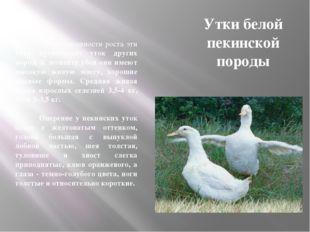 Утки белой пекинской породы По интенсивности роста эти утки превосходят уток