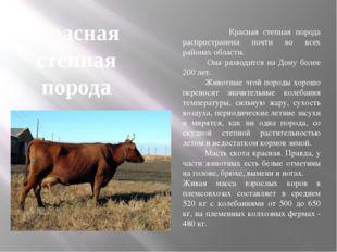 Красная степная порода Красная степная порода распространена почти во всех ра