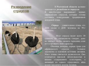 Разведение страусов В Ростовской области активно занимаются разведением страу