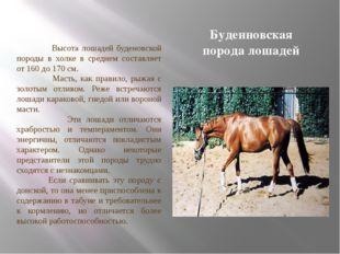 Буденновская порода лошадей Высота лошадей буденовской породы в холке в средн