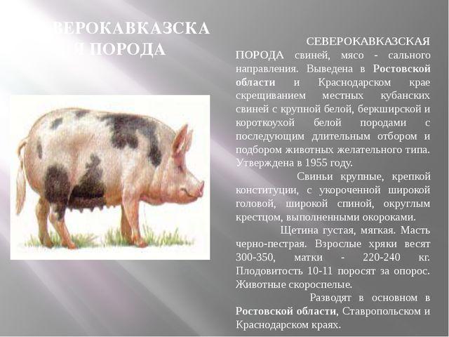 СЕВЕРОКАВКАЗСКАЯ ПОРОДА СЕВЕРОКАВКАЗСКАЯ ПОРОДА свиней, мясо - сального напра...