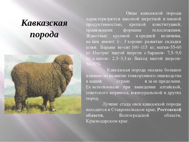 Кавказская порода Овцы кавказской породы характеризуются высокой шерстной им...
