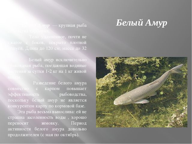 Белый Амур Белый Амур — крупная рыба семейства карповых. Тело удлинённое, поч...