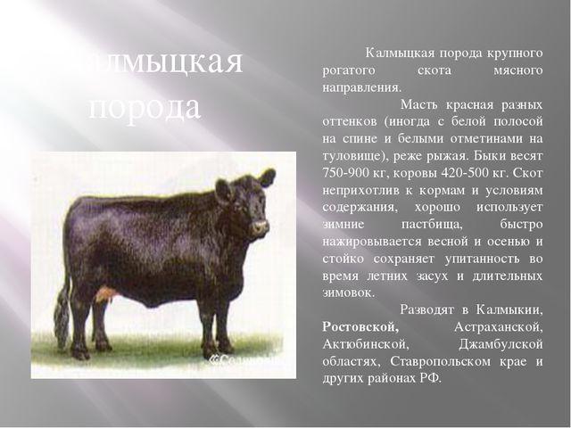 Калмыцкая порода крупного рогатого скота мясного направления. Масть красная...