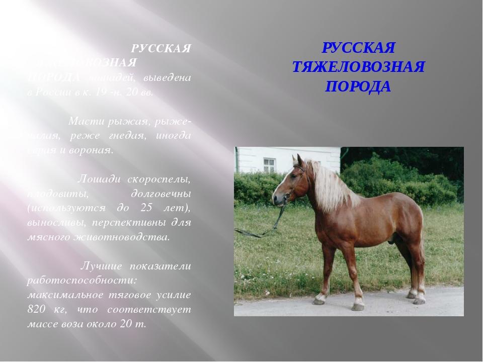 РУССКАЯ ТЯЖЕЛОВОЗНАЯ ПОРОДА РУССКАЯ ТЯЖЕЛОВОЗНАЯ ПОРОДА лошадей, выведена в Р...