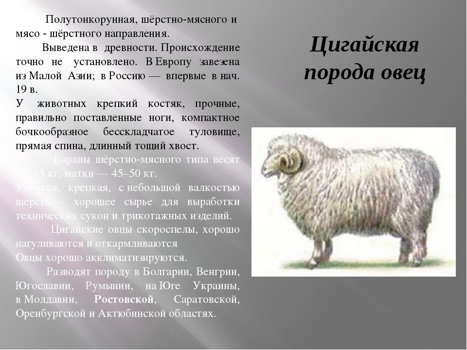 Цигайская порода овец Полутонкорунная, шёрстно-мясного и мясо - шёрстного на...