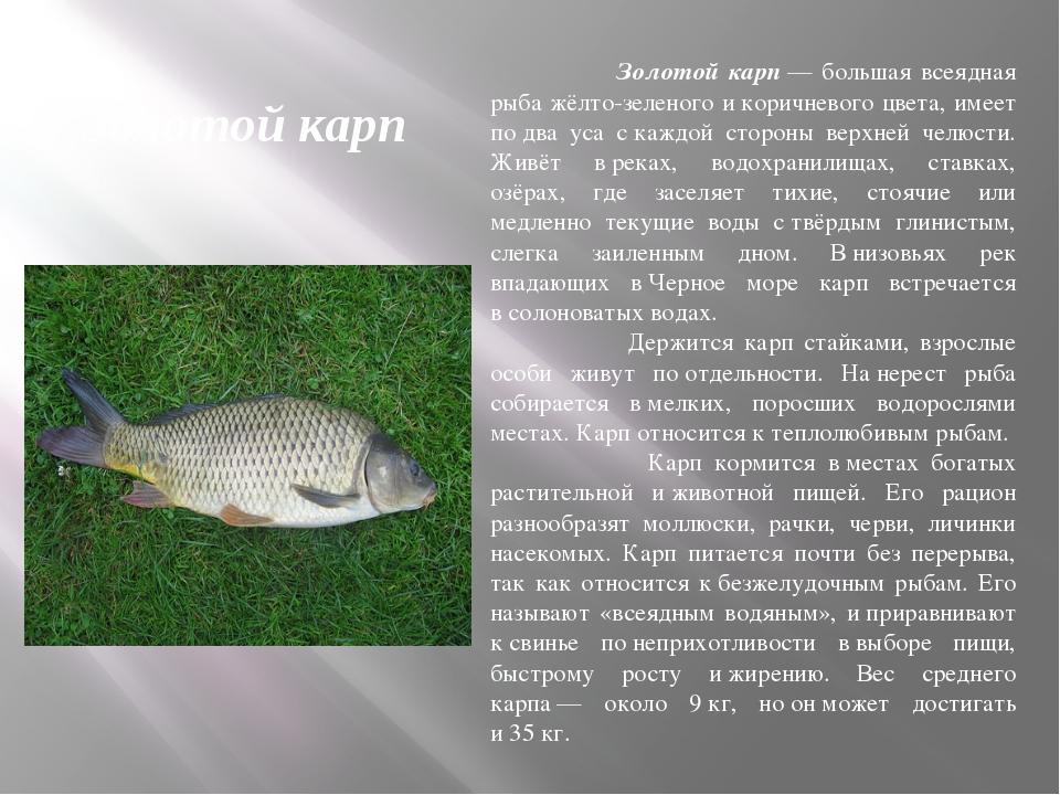 Золотой карп Золотой карп— большая всеядная рыба жёлто-зеленого икоричневог...