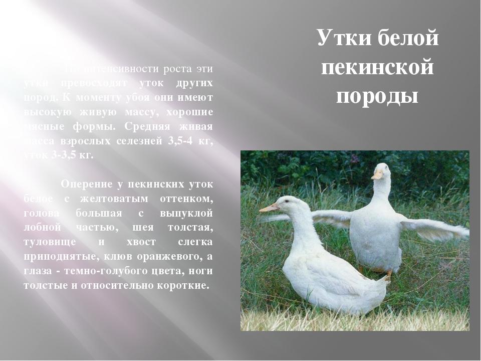 Утки белой пекинской породы По интенсивности роста эти утки превосходят уток...