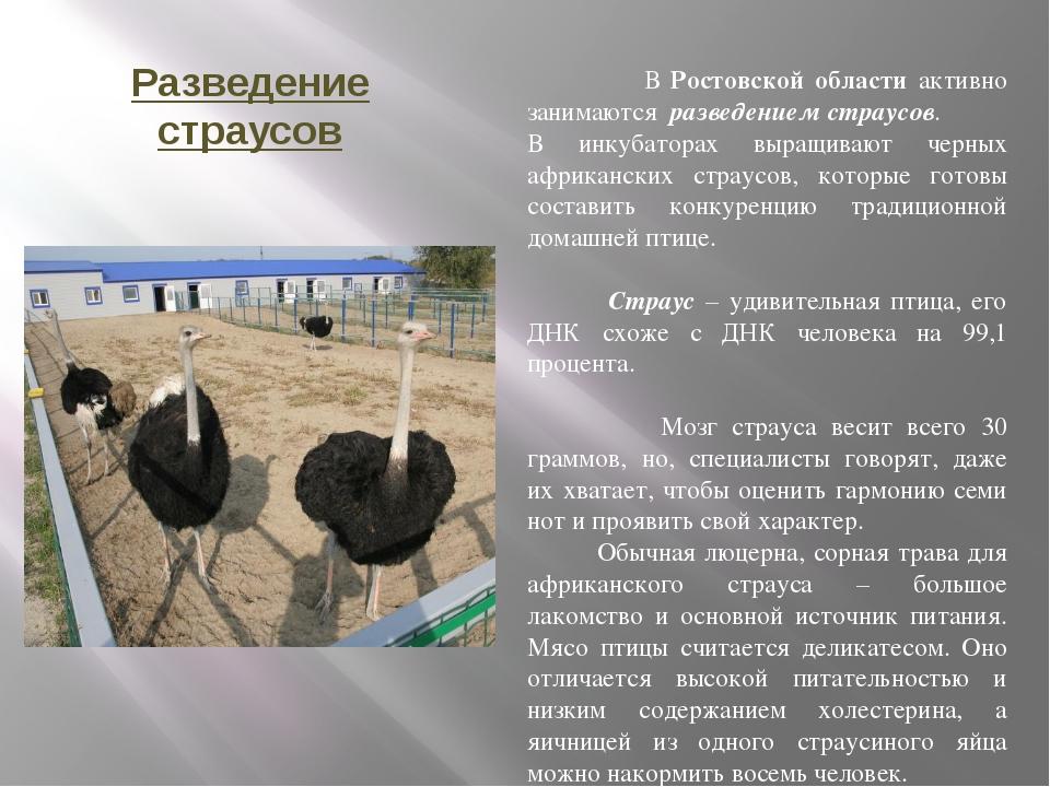 Разведение страусов В Ростовской области активно занимаются разведением страу...