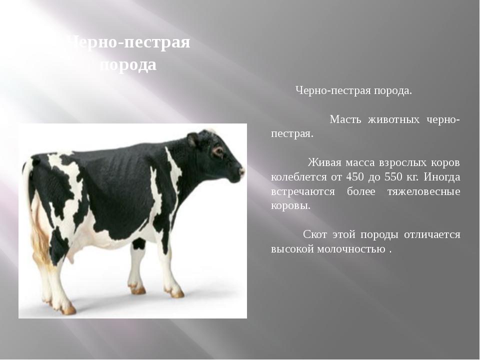 Черно-пестрая порода Черно-пестрая порода. Масть животных черно-пестрая. Жива...