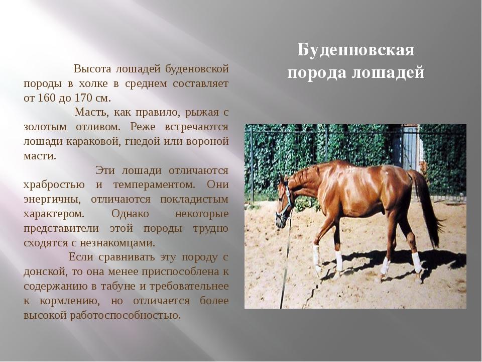 Буденновская порода лошадей Высота лошадей буденовской породы в холке в средн...