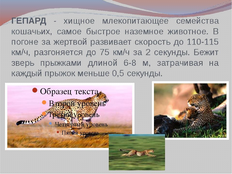 ГЕПАРД - хищное млекопитающее семейства кошачьих, самое быстрое наземное живо...
