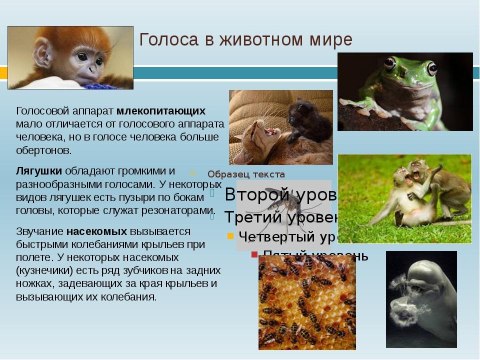 Голоса в животном мире Голосовой аппарат млекопитающих мало отличается от гол...