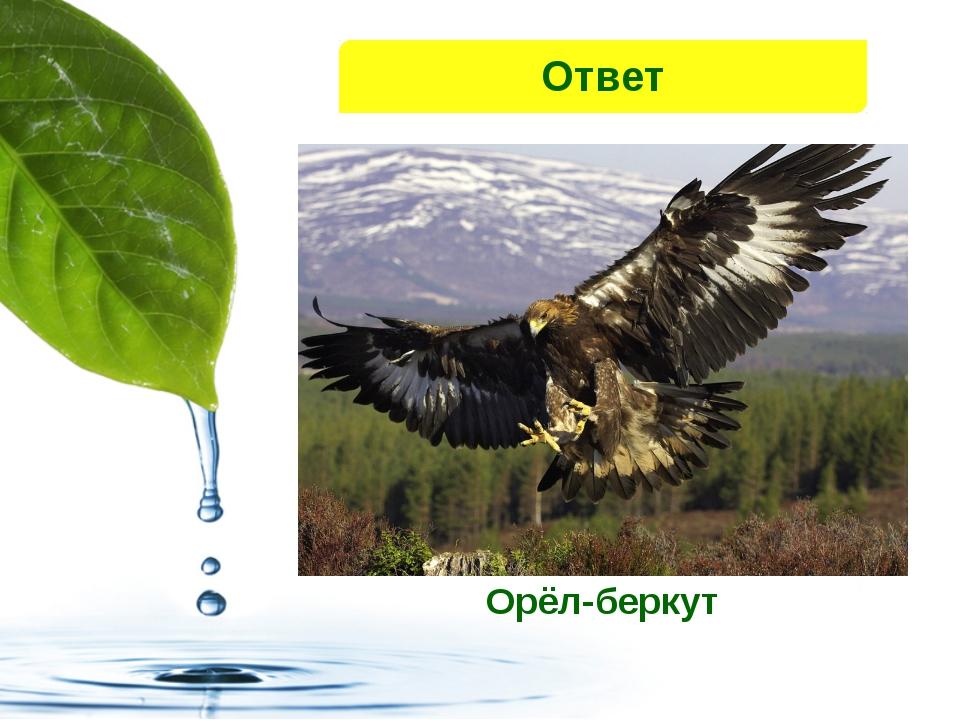 Орёл-беркут Ответ