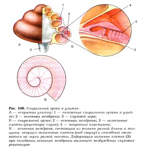 рецепторные зоны внутреннего уха гистология наши