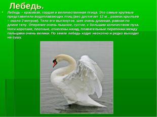 Лебедь. Лебедь – красивая, гордая и величественная птица. Это самые крупные п