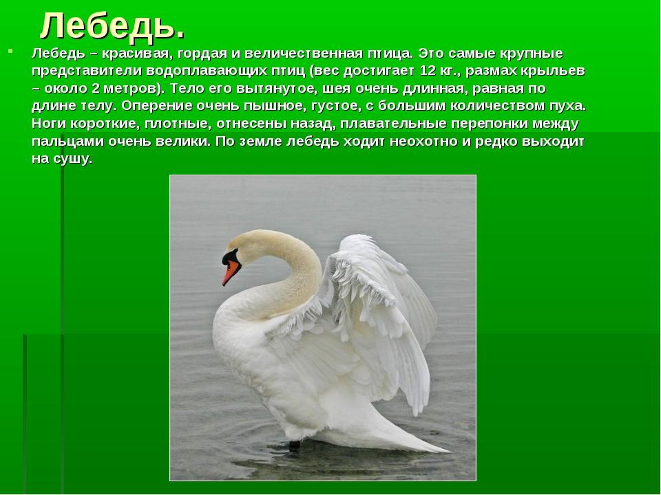 Лебедь. Лебедь – красивая, гордая и величественная птица. Это самые крупные п...