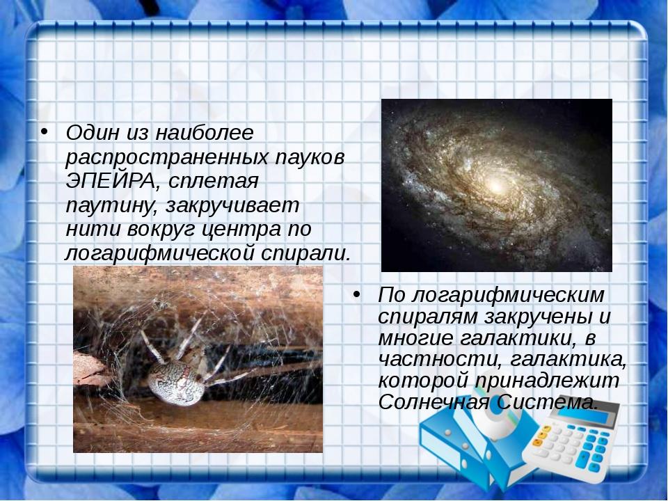 Один из наиболее распространенных пауков ЭПЕЙРА, сплетая паутину, закручивае...