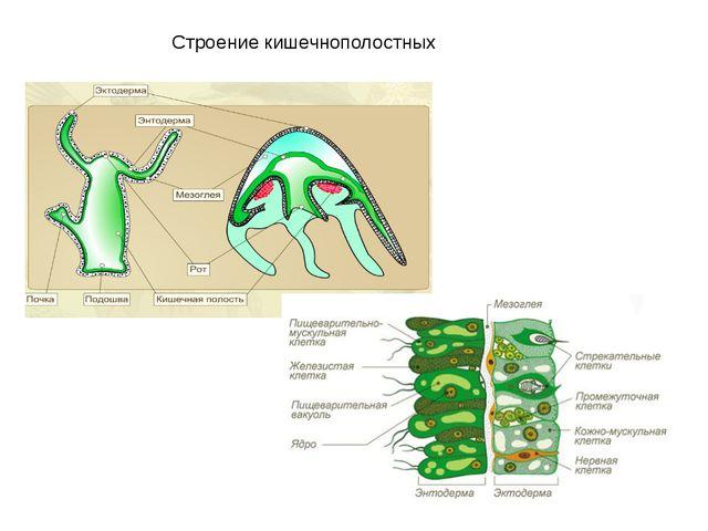 Строение кишечнополостных