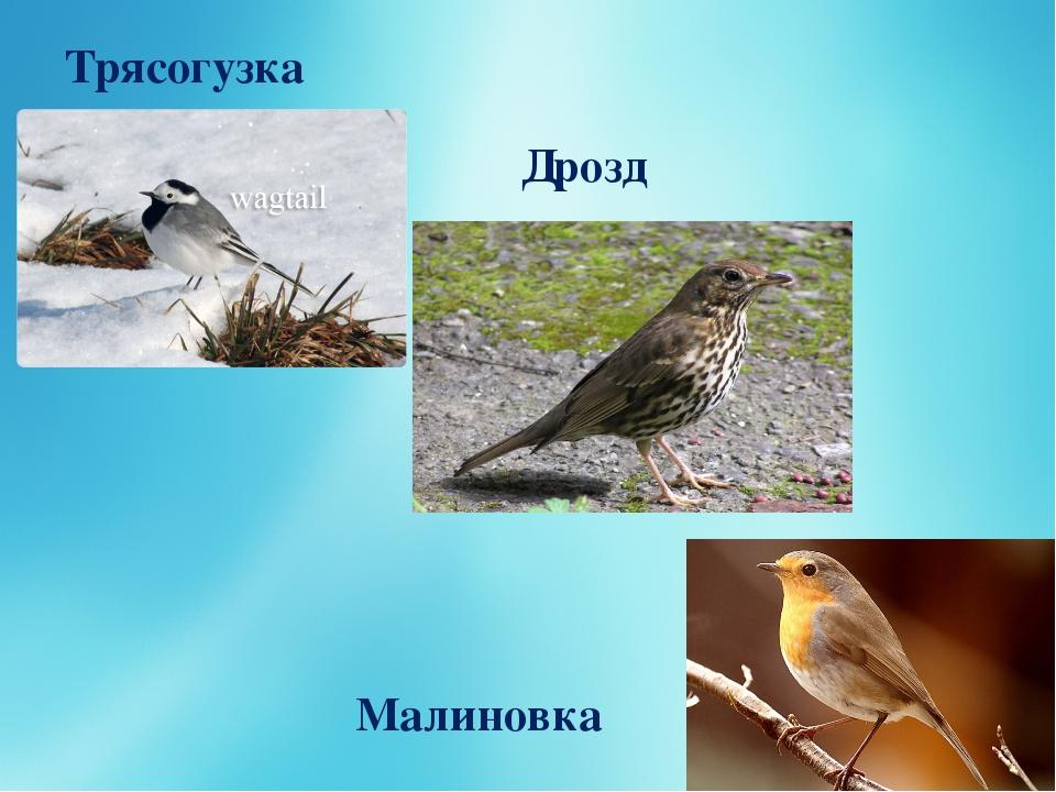 Трясогузка Дрозд Малиновка