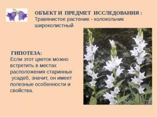 ОБЪЕКТ И ПРЕДМЕТ ИССЛЕДОВАНИЯ : Травянистое растение - колокольчик широколист