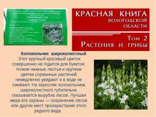 Колокольчикшироколистный Этот крупный красивый цветок совершенно не годитс