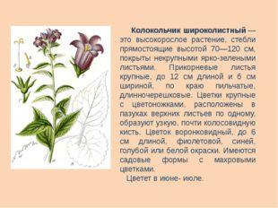 Колокольчик широколистный— это высокорослое растение, стебли прямостоящие в