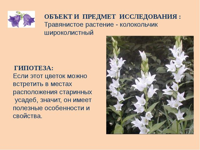 ОБЪЕКТ И ПРЕДМЕТ ИССЛЕДОВАНИЯ : Травянистое растение - колокольчик широколист...