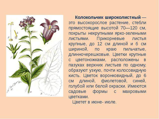 Колокольчик широколистный— это высокорослое растение, стебли прямостоящие в...