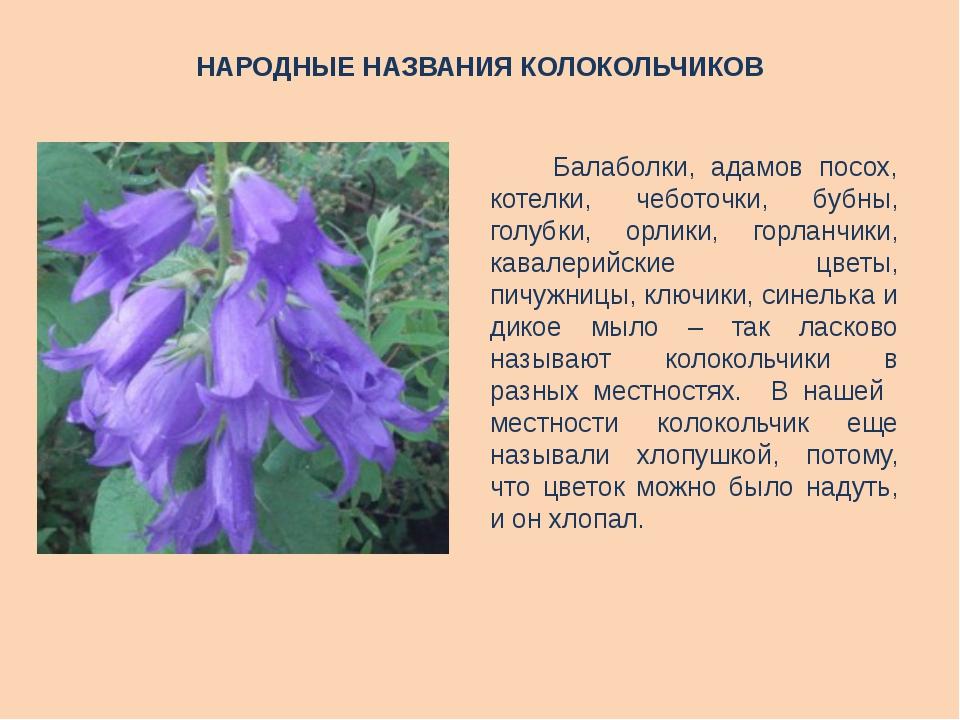 картинка и описание цветка колокольчик некоторые