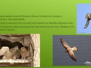 В последнее время птица всё больше и больше поселяется в городах и прилегающ
