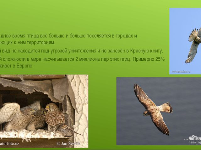 В последнее время птица всё больше и больше поселяется в городах и прилегающ...