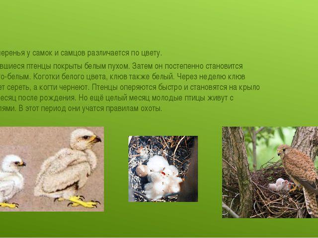 Цвет оперенья у самок и самцов различается по цвету. Вылупившиеся птенцы пок...