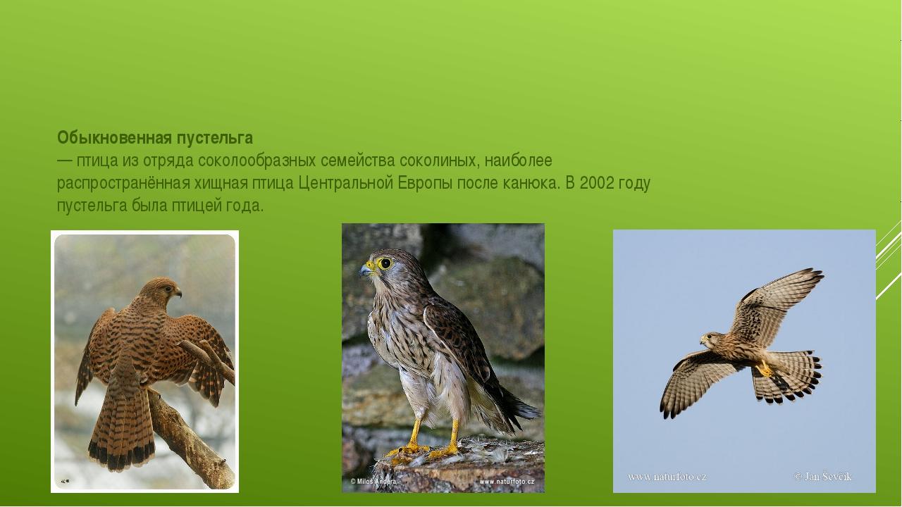 Обыкновенная пустельга́ —птицаиз отрядасоколообразныхсемействасоколиных...