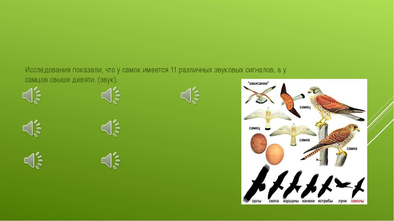 Исследования показали, что у самок имеется 11 различных звуковых сигналов, а...
