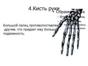 4.Кисть руки Большой палец противопоставлен другим, что придает ему большую п